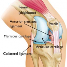 Structure of the knee.