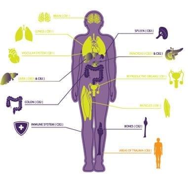 human organs diagram